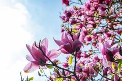 Le beau ressort rose fleurit la magnolia sur une branche d'arbre Image libre de droits