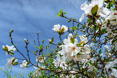 Le beau ressort rose fleurit la magnolia sur une branche d'arbre Images libres de droits