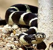 Le beau Roi Snake Photo libre de droits
