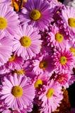 Le beau rose fleurit le plan rapproché, chrysanthèmes d'automne Photographie stock libre de droits