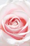 Le beau rose a monté avec des baisses de l'eau images libres de droits