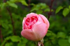 Le beau rose a monté comme une boule images stock