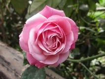 Le beau rose a monté dans un jardin Image stock