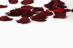 le beau rouge de pétales a monté Image stock