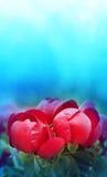 Le beau rouge fleurit des pivoines Photo stock