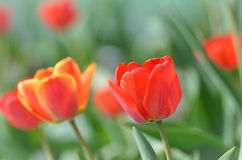 Le beau rouge fleurit des tulipes Photo stock