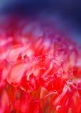 Le beau rouge fleurit des tulipes Photos stock