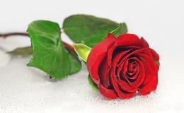 Le beau rouge a monté Image libre de droits
