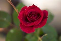 Le beau rouge a monté dans le jardin image libre de droits