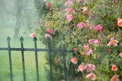 Le beau rouge a monté dans le jardin. Photos libres de droits