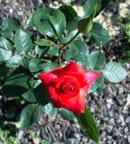 Le beau rouge a monté dans le jardin Photo stock