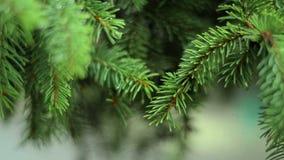Le beau sapin vert s'embranche avec des baisses après pluie banque de vidéos