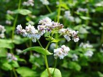Le beau sarrasin blanc fleurit dans le domaine, Lithuanie Images stock