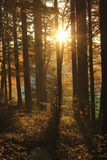 Le beau soleil d'or dans la forêt au crépuscule Photographie stock libre de droits