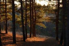 Le beau soleil de soirée dans la forêt de pin images stock