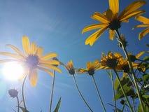 Le beau topinambour jaune fleurit et ciel bleu Photos libres de droits