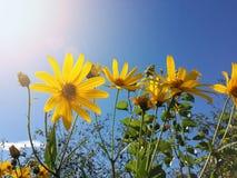 Le beau topinambour jaune fleurit et ciel bleu photo libre de droits