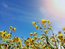 Le beau topinambour jaune fleurit et ciel bleu Photographie stock