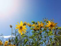 Le beau topinambour jaune fleurit et ciel bleu Images libres de droits