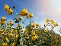 Le beau topinambour jaune fleurit et ciel nuageux bleu Photos stock