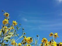 Le beau topinambour jaune fleurit et ciel nuageux bleu Photo libre de droits