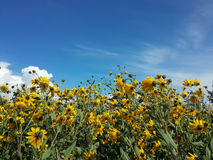 Le beau topinambour jaune fleurit et ciel nuageux bleu Image libre de droits
