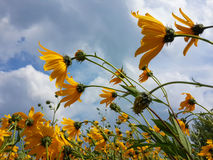 Le beau topinambour jaune fleurit et ciel nuageux bleu photographie stock libre de droits