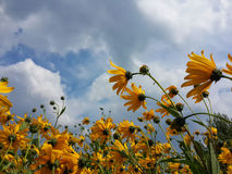 Le beau topinambour jaune fleurit et ciel nuageux bleu Images stock
