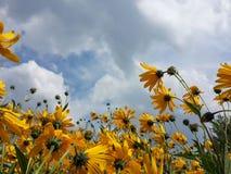 Le beau topinambour jaune fleurit et ciel nuageux bleu Photo stock