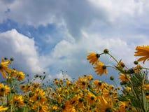 Le beau topinambour jaune fleurit et ciel nuageux bleu Images libres de droits
