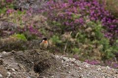 Le beau torquata de saxicola d'oiseau de traquet était perché près de la côte Image libre de droits