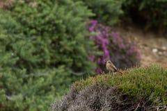 Le beau torquata de saxicola d'oiseau de traquet était perché près de la côte Image stock