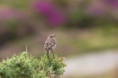 Le beau torquata de saxicola d'oiseau de traquet était perché près de la côte Photographie stock libre de droits