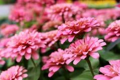 Le beau Zinnia rose Elegans de foyer sélectif fleurit sur le fond merveilleux vert de feuilles et de fleurs de tache floue photos libres de droits