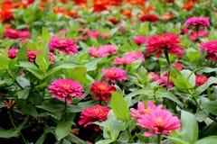 Le beau Zinnia rose et magenta Elegans fleurit sur le fond merveilleux de fleurs Photographie stock