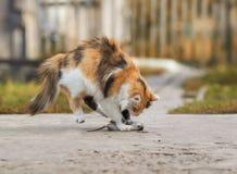 Le beaux chat ont attrapé un rat gris dans le jardin d'été et espiègle Photos libres de droits