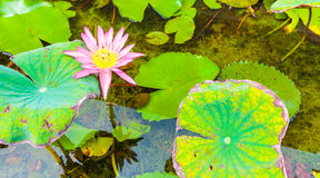 Le beaux lotus et insectes Photo libre de droits