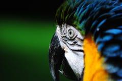 Le bec du Macaw Photo libre de droits
