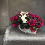 Le begonie bianche e rosse in un canestro bianco di vimini vicino alla parete grigia Fotografie Stock