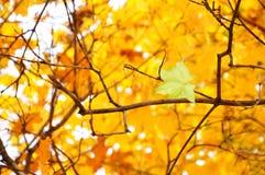 Le bel érable part en automne Photo libre de droits