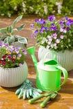 Le bel été de pensée fleurit dans des gants de boîte de jardin et d'arrosage Images stock