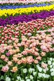 Le bel affichage de tulipe aux jardins par la baie à Singapour Image libre de droits