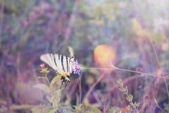 Le bel amiral blanc de papillon va voler de la fleur Belle tonalité au foyer mou images stock