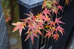 Le bel arbre d'érable japonais rouge part l'automne Photo libre de droits