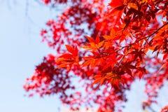 Le bel arbre d'érable japonais rouge part l'automne Photo stock