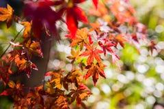 Le bel arbre d'érable japonais rouge part l'automne Photographie stock