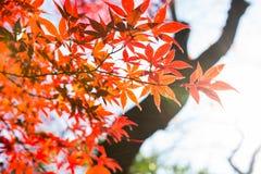 Le bel arbre d'érable japonais rouge part l'automne Images stock
