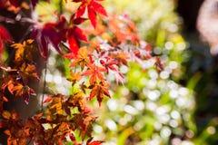 Le bel arbre d'érable japonais rouge part l'automne Photos libres de droits
