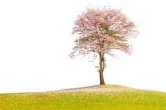 Le bel arbre de trompette rose seul se tenant dans le domaine vert Co images libres de droits