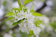 Le bel arbre fleurit le fond Photos libres de droits